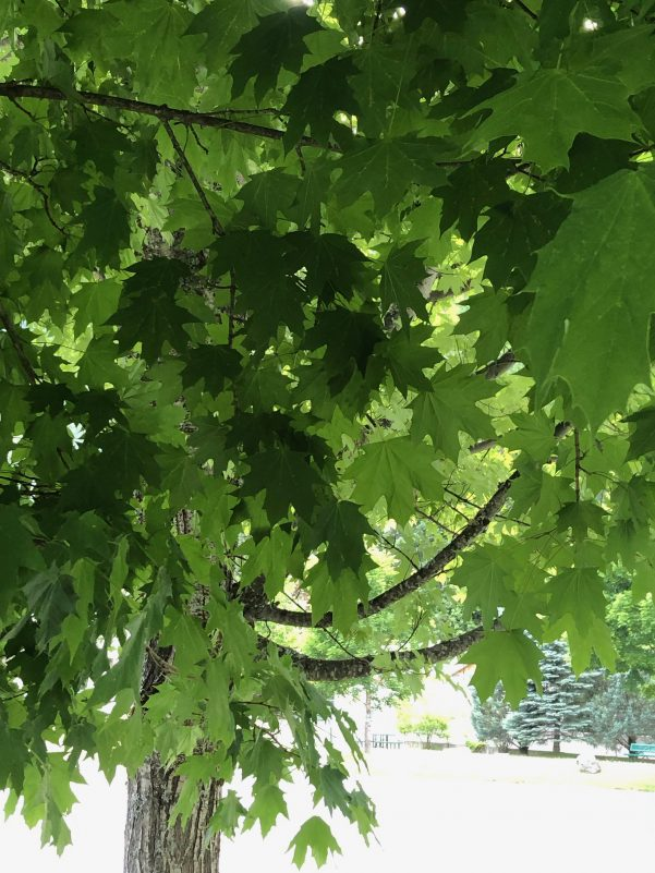 Title: Under The Canopy My Heart