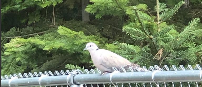 Cropped Dove inMullan